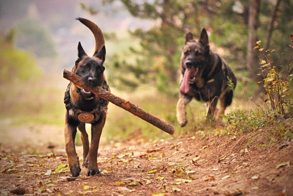 Dog playing woods